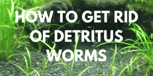 How to Get Rid Of Detritus Worms In Aquariums