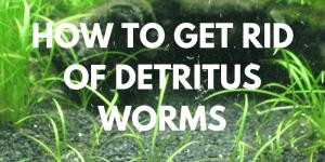 How to Get Rid Of Detritus Worms In Aquariums
