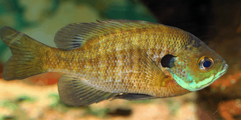 What to Feed Bluegill In An Aquarium