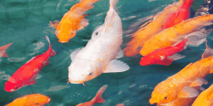 Can Koi Fish Be Kept in an Aquarium
