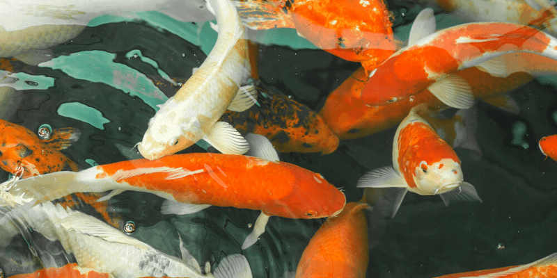What Does Koi Fish Eat in an Aquarium