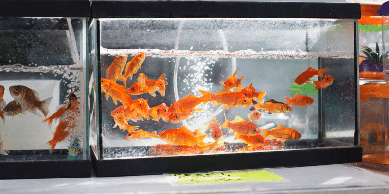 What Fish Put out the Most Waste in an Aquarium