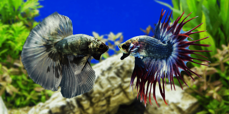 How to Deal with Aggressive Fish in an Aquarium