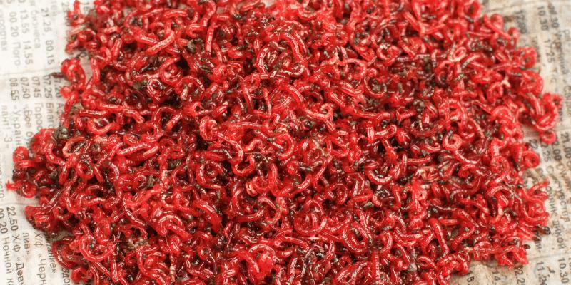 What Aquarium Fish Eat Bloodworms