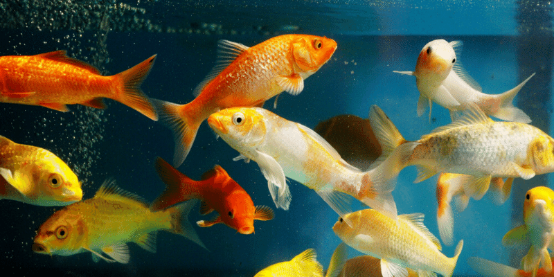 What Does it Mean When Fish Swim at the Top of the Aquarium