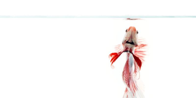 How Often Should You Feed Betta Fish