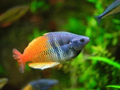 Can Rainbowfish live with Guppies - Rainbow fish