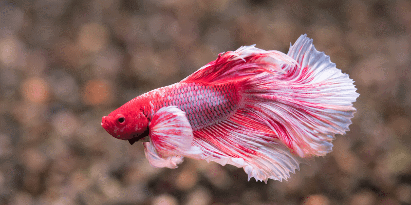 Why is Betta Fish Lying at the Bottom of the Tank