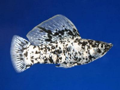 Dalmatian Molly Fish
