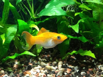Lyretail Molly Fish