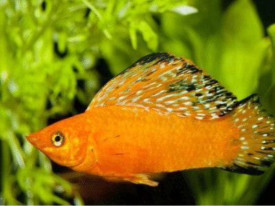 Sailfin Molly Fish