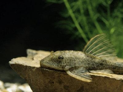Common Pleco