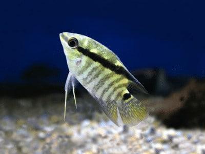 T-Bar Cichlids
