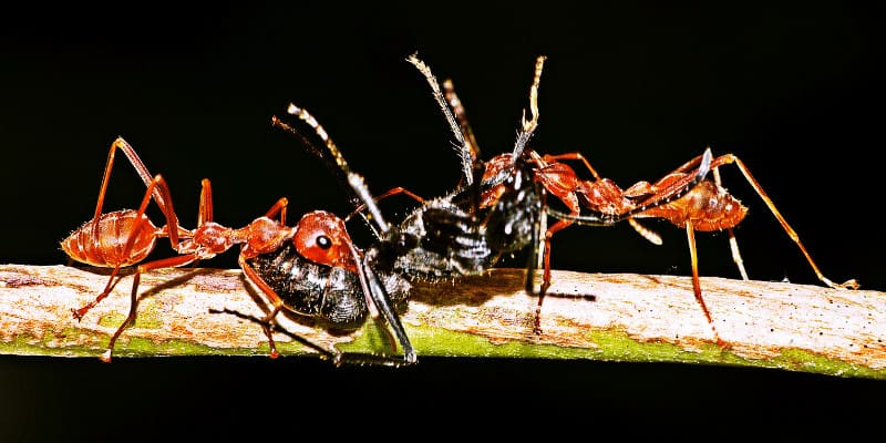 Can Betta Fish Eat Ants