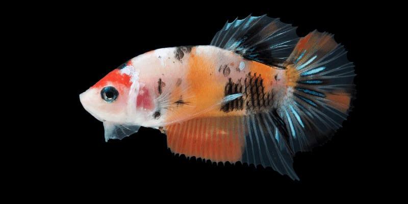Can Betta Fish Eat Human Food