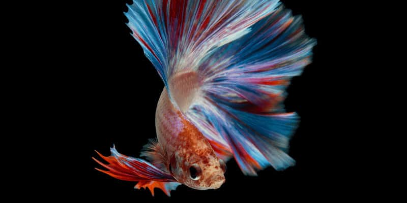 Can Betta fish change color