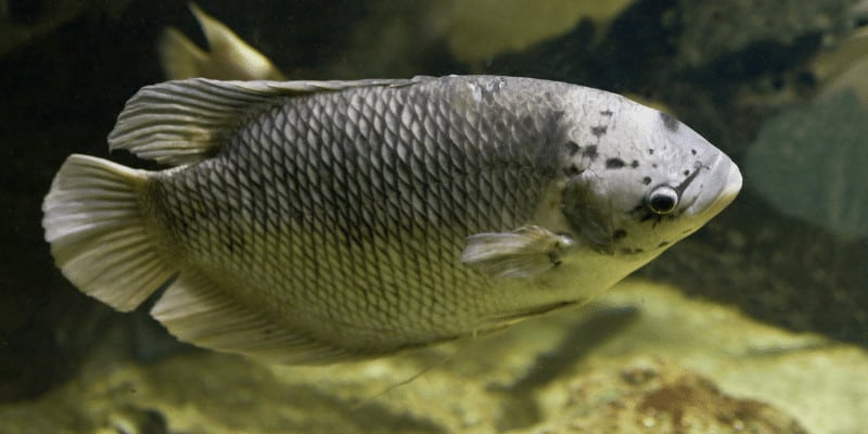 Can Gouramis Live with Guppies