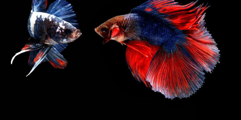 Can Siamese Fighting Fish (Betta Fish) Live With Guppies