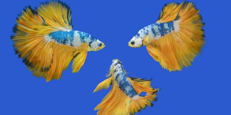 How Many Betta Fish Can Live Together
