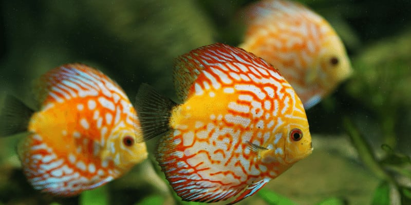 How to Take Care of Discus Fish