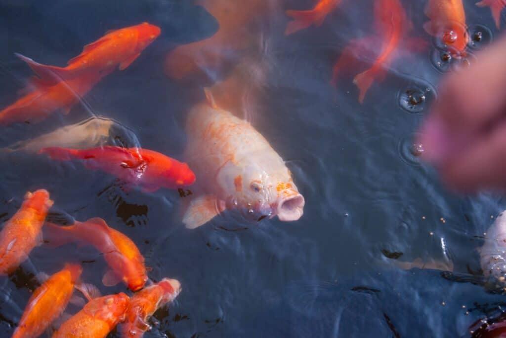 Alternative Fish Food for Herbivore and Omnivore Aquarium Fish