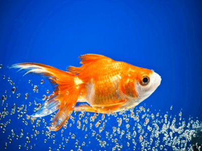 Goldfish Smart, Clumsy, Funny intelligent