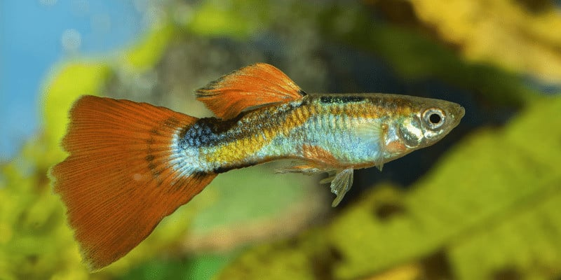 How to Care for Guppy Fish