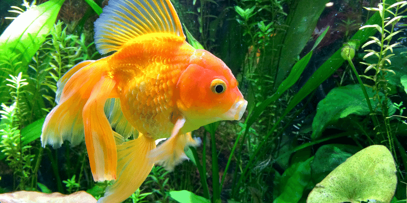 How to Take Care of Goldfish