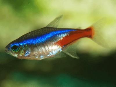 Neon Tetras The Jewels of Fishkeeping