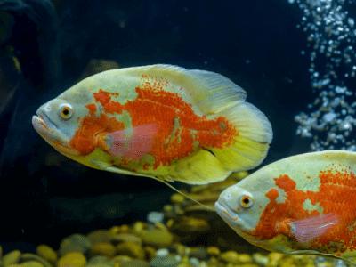 Oscar Fish—Your Aquarium Brainiacs