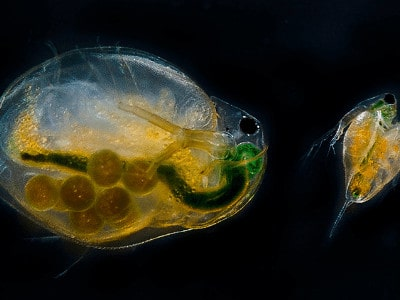 a water flea is a microscopic shrimp that feed on algae and provides food for fish