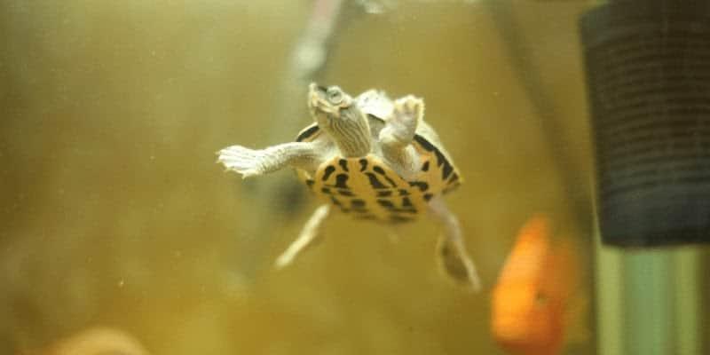 What-Do-Aquarium-Turtles-Eat-A-Complete-Guide