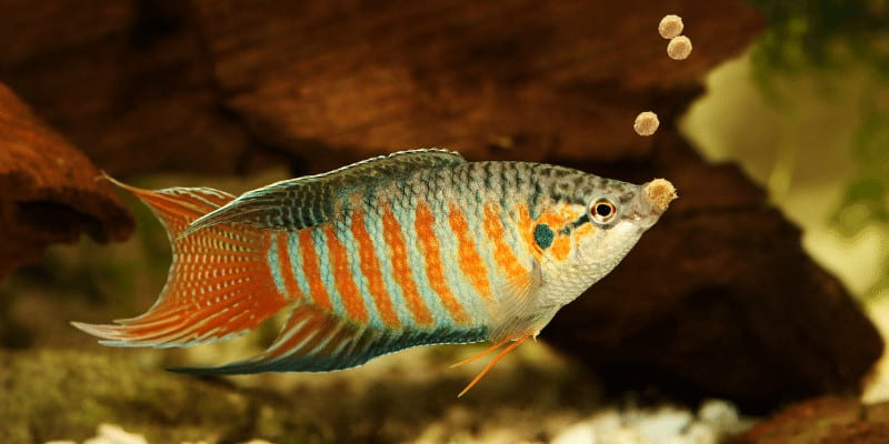 What to Feed Fish When you Run Out of Fish Food