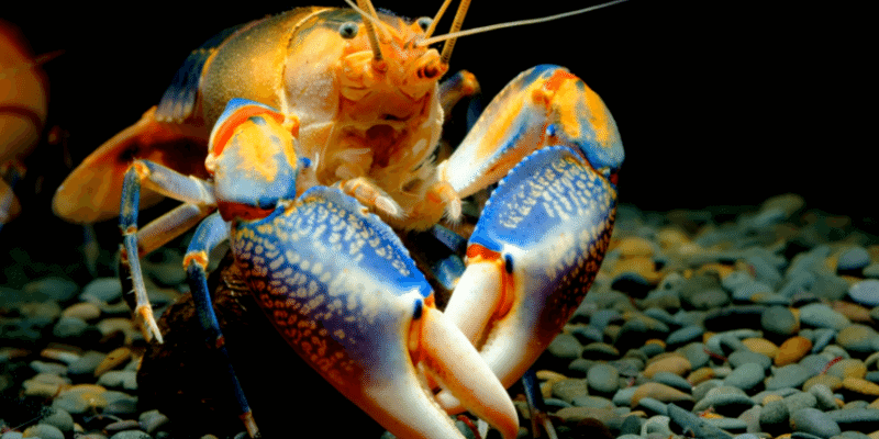 How To Care for Crayfish in Aquariums