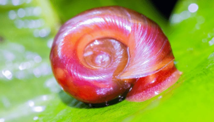 How to Get Rid of Ramshorn Snails in an Aquarium