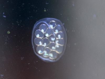 Ramshorn snail eggs