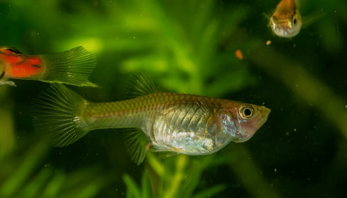 Why is Guppy Swimming Vertically