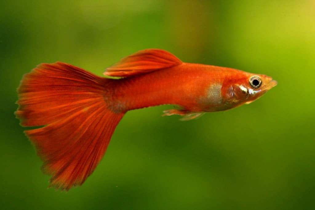 Guppy fish in aquarium