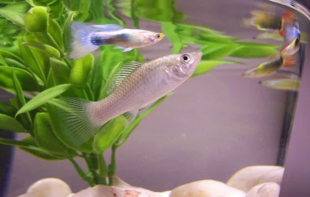 Guppy and Molly fish in an aquarium
