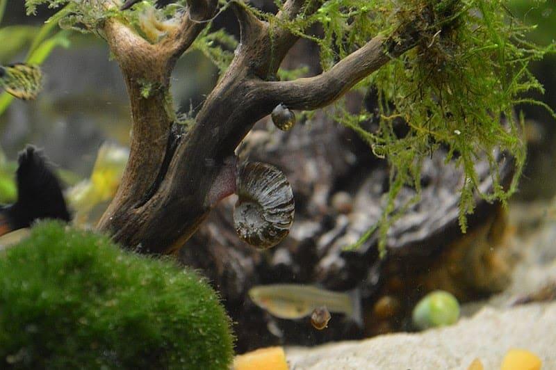 ramshorn snail in an aquarium