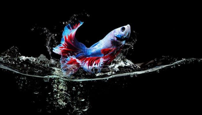 Can Betta Fish Jump Out of a Tank