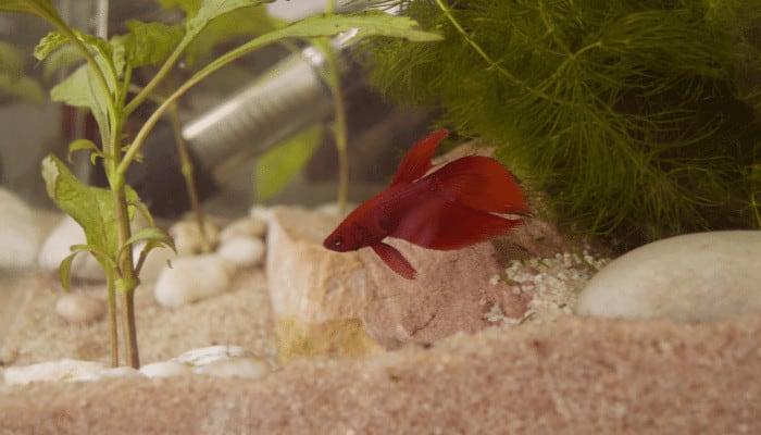 What Plants Do Betta Fish Eat