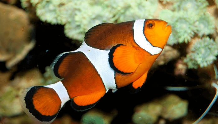 How Big Do Clownfish Get in an Aquarium