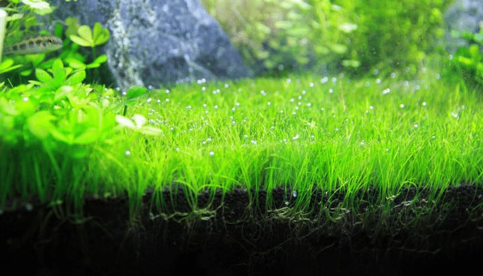 Why is Dwarf Hairgrass Melting After Planting in a New Aquarium